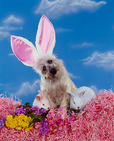 DOG 02 RK0139 08 © Kimball Stock Cairn Terrier Sitting By Flowers And Pink And Blue Rabbits Wearing Rabbit Ears Blue Clouds Background