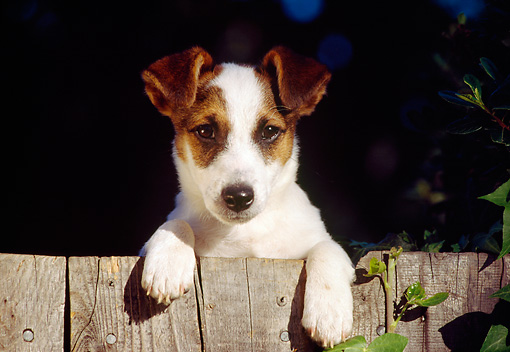 DOG 02 RK0148 04 © Kimball Stock Head Shot Of Jack Russell Terrier Leaning On Fence
