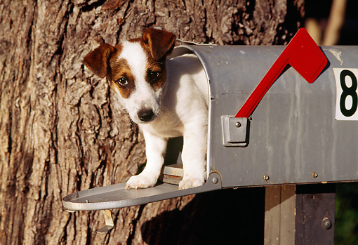 DOG 02 RK0149 03 © Kimball Stock Jack Russell Terrier Laying In Mailbox By Tree