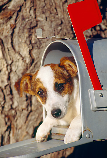 DOG 02 RK0149 05 © Kimball Stock Jack Russell Terrier Laying In Mailbox By Tree
