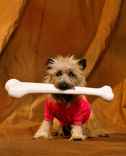 DOG 02 RK0162 03 © Kimball Stock Cairn Terrier Sitting With Bone