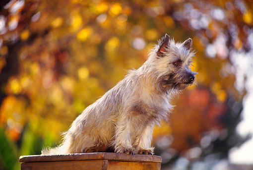 DOG 02 RK0173 08 © Kimball Stock Cairn Terrier Sitting On Top Of Ladder