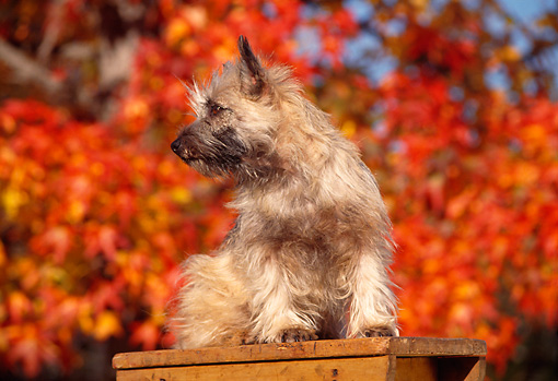 DOG 02 RK0176 03 © Kimball Stock Cairn Terrier Sitting On Top Of Ladder