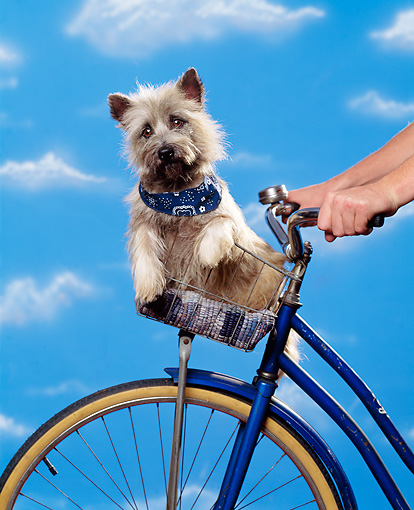DOG 02 RK0177 07 © Kimball Stock Cairn Terrier Sitting In Bicycle Basket Studio