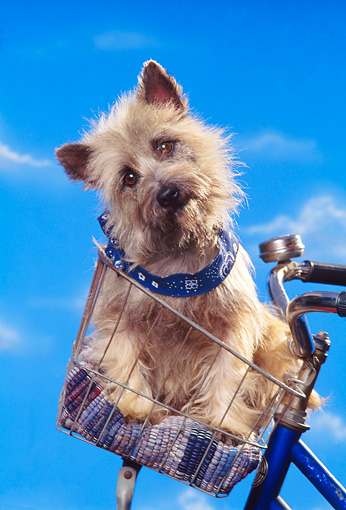 DOG 02 RK0184 13 © Kimball Stock Cairn Terrier Sitting In Bicycle Basket Studio