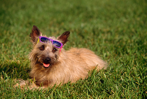 DOG 02 RK0204 04 © Kimball Stock Cairn Terrier Laying On Grass Wearing Sunglasses On Head