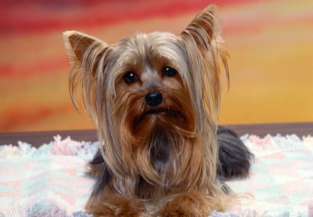 DOG 02 RK0223 01 © Kimball Stock Head Shot Of Yorkshire Terrier Laying On Blanket Facing Camera Sunset Background