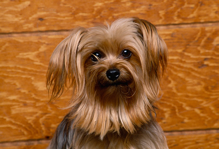 DOG 02 RK0229 02 © Kimball Stock Head Shot Of Miniature Yorkshire Terrier Facing Camera Wood Wall Background