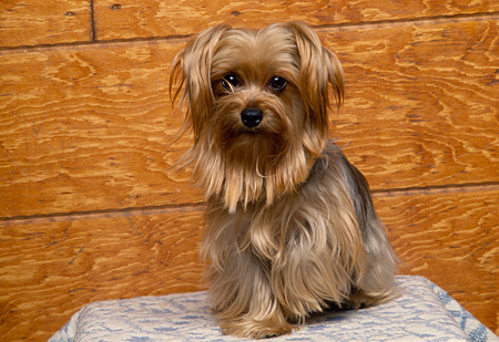 DOG 02 RK0230 01 © Kimball Stock Miniature Yorkshire Terrier Sitting On Light Blue Rug Facing Camera Wood Wall Background
