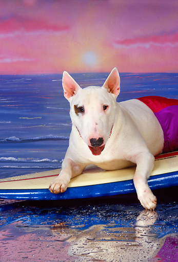DOG 02 RK0235 03 © Kimball Stock Bull Terrier Laying On Surfboard Wearing Trunks Ocean Background