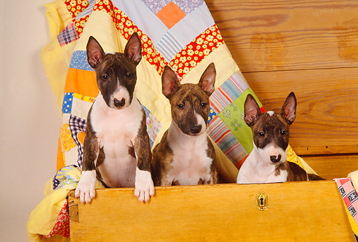 DOG 02 RK0282 18 © Kimball Stock Three Bull Terrier Dogs Sitting In Chest With Quilt Studio