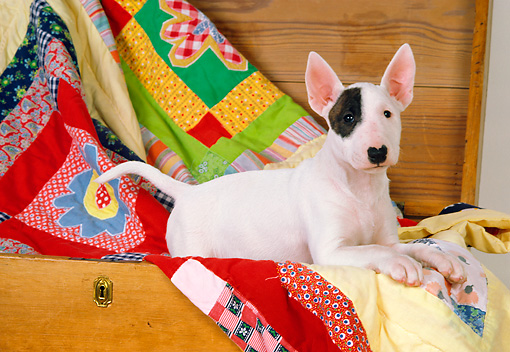 DOG 02 RK0284 01 © Kimball Stock Bull Terrier Laying In Wood Chest With Quilt Studio
