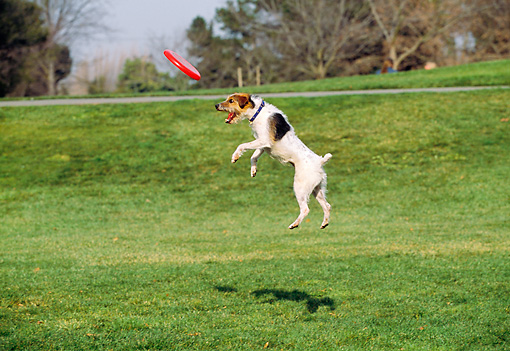 DOG 02 RK0333 21 © Kimball Stock Fox Terrier Jumping In Air Catching Frisbee At Park