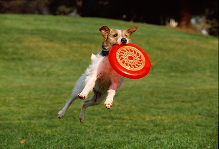 DOG 02 RK0333 29 © Kimball Stock Fox Terrier Jumping In Air Catching Frisbee At Park