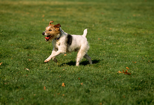 DOG 02 RK0335 05 © Kimball Stock Fox Terrier Running On Grass At Park