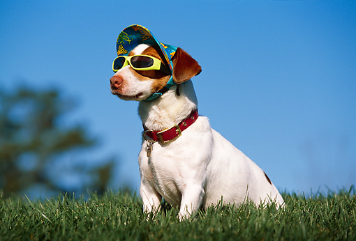 DOG 02 RK0339 18 © Kimball Stock Humorous Jack Russell Terrier Wearing Hat And Sunglasses Sitting On Grass Blue Sky