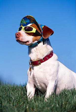 DOG 02 RK0339 24 © Kimball Stock Humorous Jack Russell Terrier Wearing Hat And Sunglasses Sitting On Grass Blue Sky
