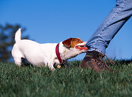 DOG 02 RK0342 03 © Kimball Stock Jack Russell On Grass Pulling On Jeans From Person Walking