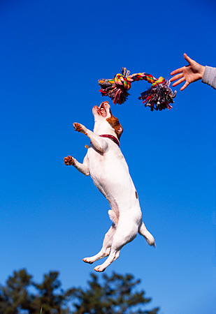 DOG 02 RK0344 07 © Kimball Stock Jack Russell Jumping In Air To Toy Rope Blue Sky