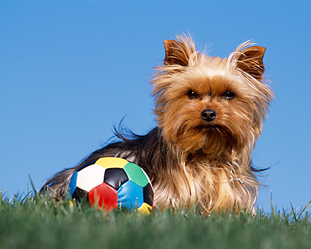 DOG 02 RK0349 02 © Kimball Stock Yorkshire Terrier Sitting On Grass