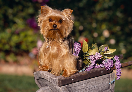 DOG 02 RK0355 16 © Kimball Stock Yorkshire Terrier Sitting In Wheelbarrel With Purple Flowers