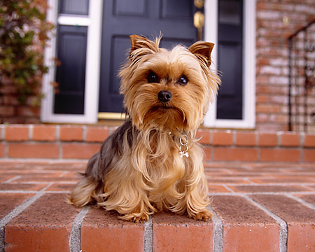 DOG 02 RK0360 01 © Kimball Stock Yorkshire Terrier Sitting On Brick Floor