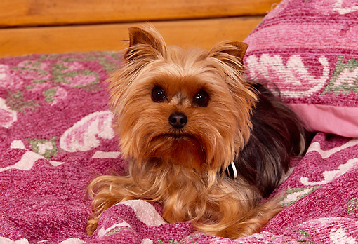 DOG 02 RK0364 01 © Kimball Stock Yorkshire Terrier Laying On Pink Blanket