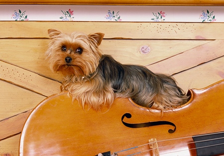 DOG 02 RK0366 03 © Kimball Stock Yorkshire Terrier Sitting On Cello