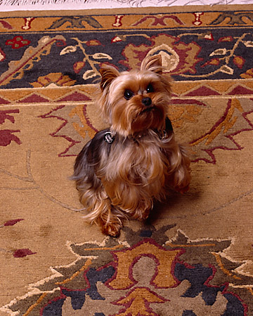 DOG 02 RK0368 01 © Kimball Stock Yorkshire Terrier On Hind Legs Looking Up