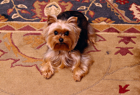 DOG 02 RK0369 01 © Kimball Stock Yorkshire Terrier Looking Up At Camera On Oriental Rug