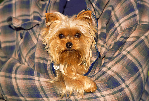 DOG 02 RK0370 07 © Kimball Stock Head Shot Of Yorkshire Terrier Being Held By Person In Plaid Shirt