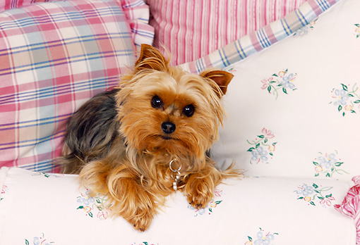DOG 02 RK0371 05 © Kimball Stock Yorkshire Terrier Laying On Pillows
