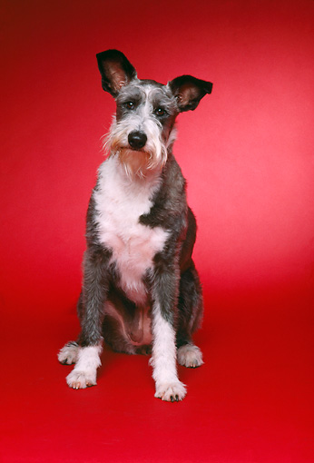 DOG 02 RK0373 06 © Kimball Stock Wirehair Terrier Sitting On Red Seamless Studio