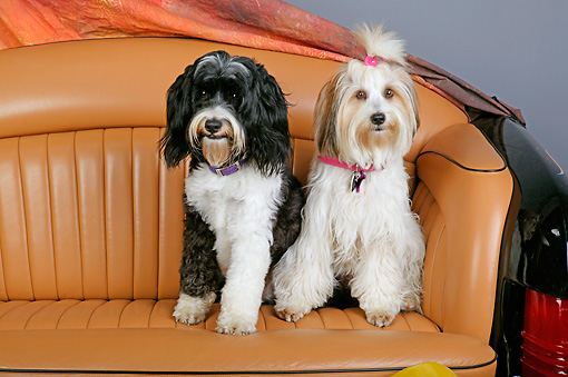 DOG 02 RK0395 01 © Kimball Stock Two Tibetan Terriers  Sitting On Couch