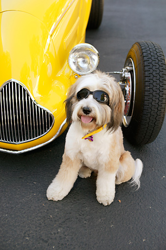 DOG 02 RK0398 01 © Kimball Stock Tibetan Terrier Sitting Wearing Glasses By Hot Rod Car