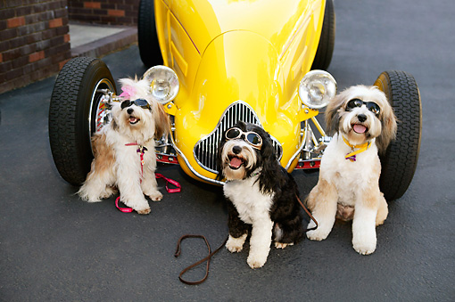 DOG 02 RK0399 01 © Kimball Stock Humorous Shot Of Three Tibetan Terriers Wearing Glasses Sitting By Hot Rod Car