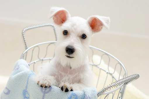 DOG 02 YT0003 01 © Kimball Stock Miniature Schnauzer Standing In Metal Basket