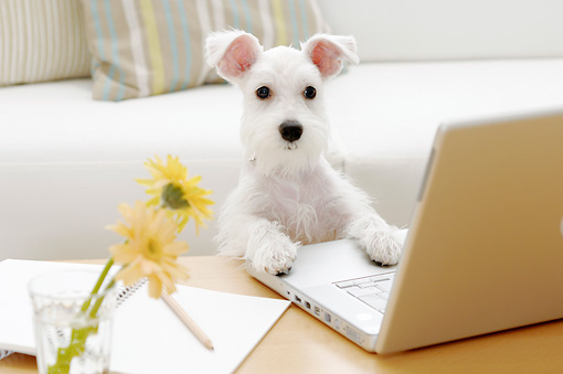 DOG 02 YT0008 01 © Kimball Stock Miniature Schnauzer Standing At Laptop On Coffee Table