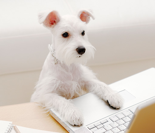DOG 02 YT0009 01 © Kimball Stock Miniature Schnauzer Standing At Laptop On Coffee Table