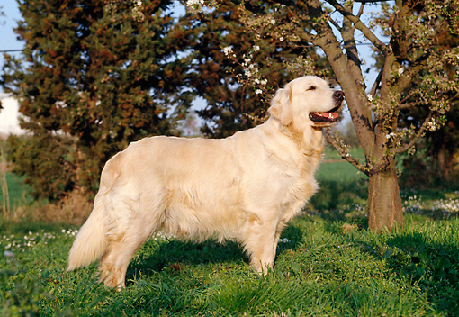 DOG 03 CB0002 01 © Kimball Stock Golden Retriever Standing On Lawn Profile