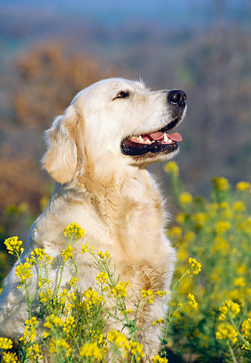 DOG 03 CB0004 01 © Kimball Stock Portrait Of Golden Retriever Sitting In Yellow Wildflowers