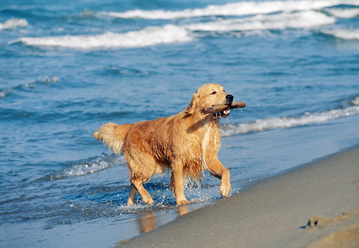 DOG 03 CB0011 01 © Kimball Stock Golden Retriever Fetching Stick From Water On Beach