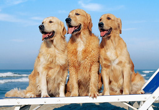 DOG 03 CB0014 01 © Kimball Stock Three Golden Retrievers Sitting On Beach Chair