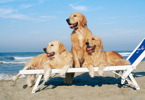 DOG 03 CB0015 01 © Kimball Stock Three Golden Retrievers Resting On Beach Chair