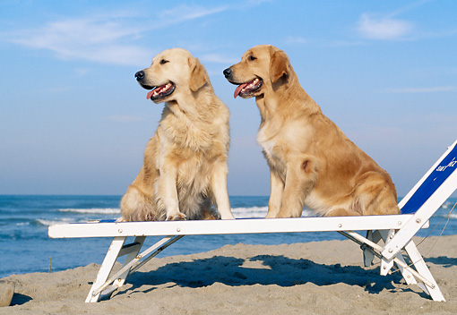 DOG 03 CB0016 01 © Kimball Stock Two Golden Retrievers Sitting On Beach Chair