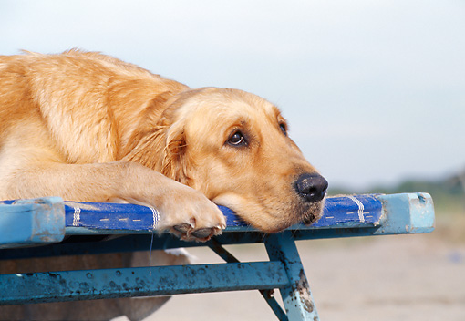 DOG 03 CB0017 01 © Kimball Stock Close-Up Of Golden Retriever Resting On Beach Chair