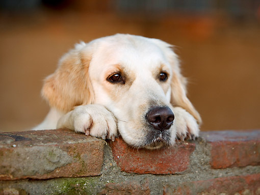 DOG 03 CB0022 01 © Kimball Stock Close-Up Of Golden Retriever Looking Over Brick Wall
