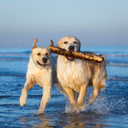 DOG 03 CB0026 01 © Kimball Stock Two Golden Retrievers Emerging From Water With Stick