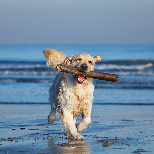 DOG 03 CB0027 01 © Kimball Stock Golden Retriever Running On Beach With Stick