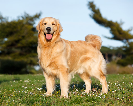 DOG 03 CB0030 01 © Kimball Stock Golden Retriever Standing In Grass With Flowers